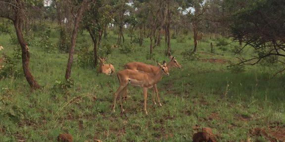 3 buck at Akagera